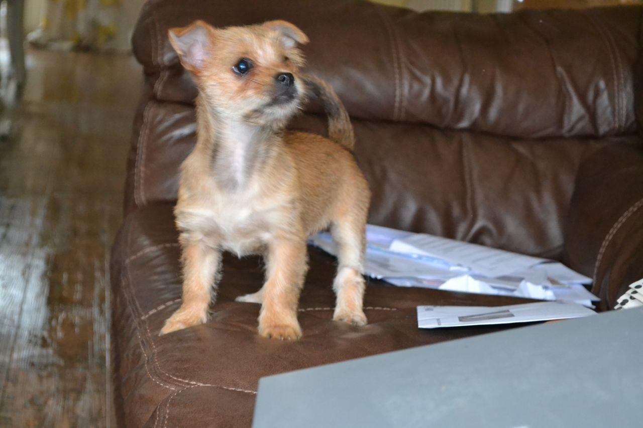 Yorkshire Terrier X Chihuahua Chorkies 5258138978f4b Jpg 1280 853