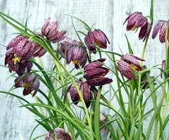 Allium Ampeloprasum Spanish Allium Plants Planting and Grow bulbs