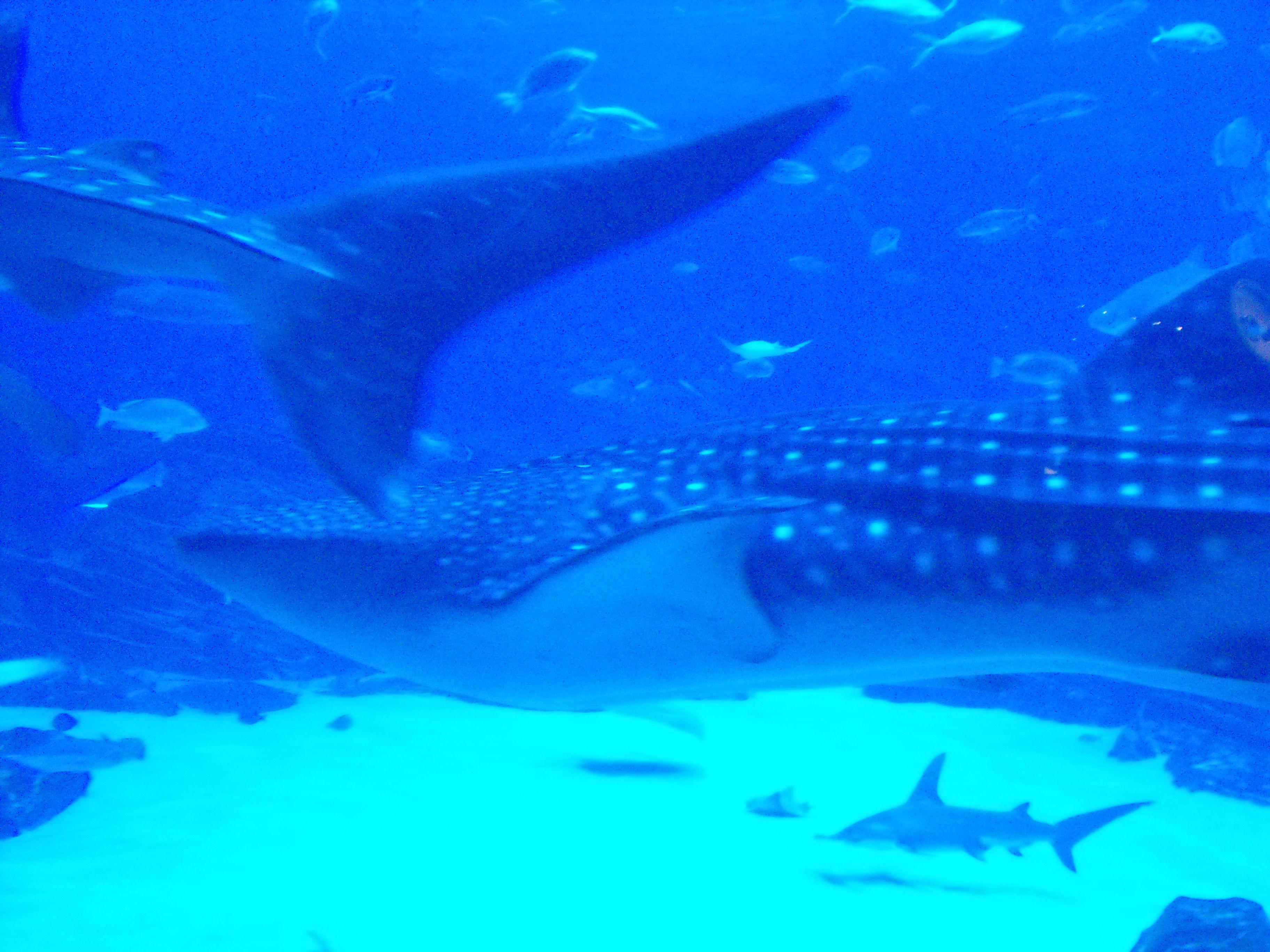 Whale sharks, Georgia Aquarium, Atlanta GA   Georgia ...