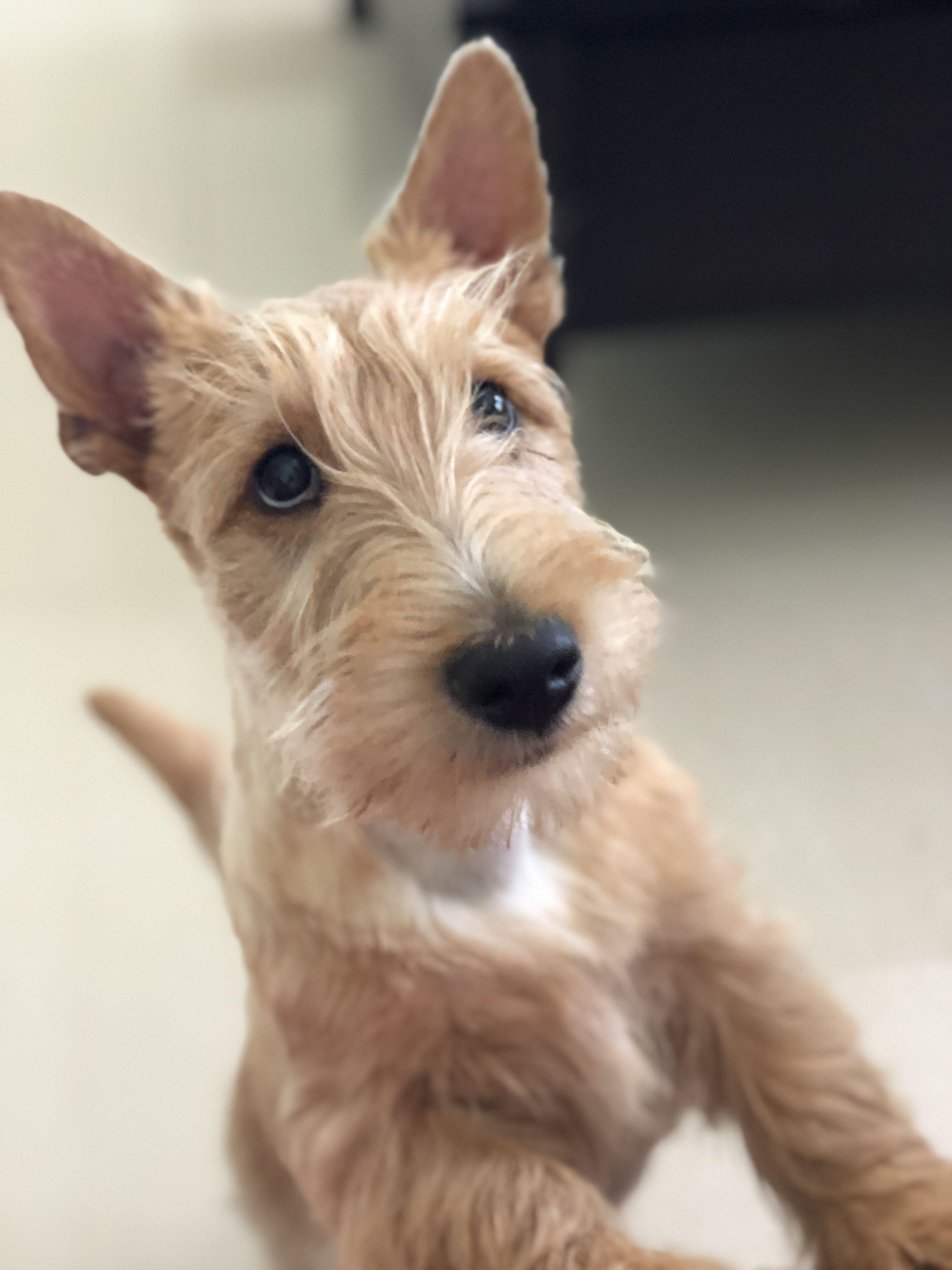 My Wheaten Scottish Terrier Rosie