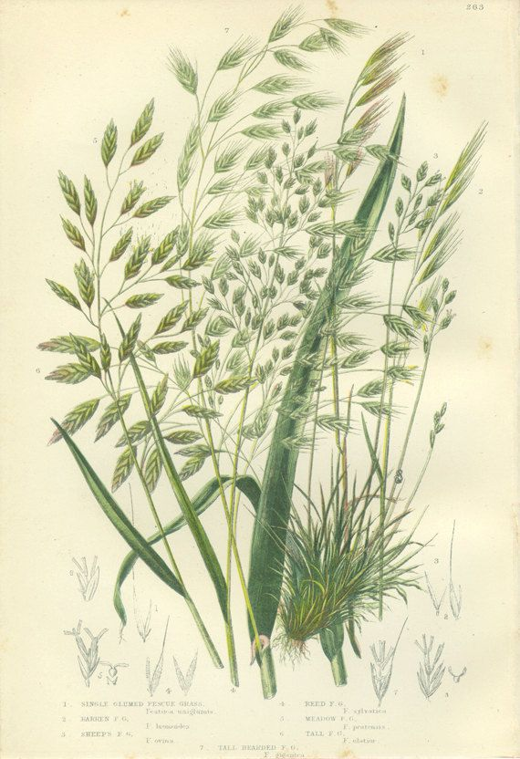 Fescue Grass, Meadow Grass, Reproduction Antique Botanical Print 263, Anne Pratt 1889, Frameable Art, country Cottage, Library Decor