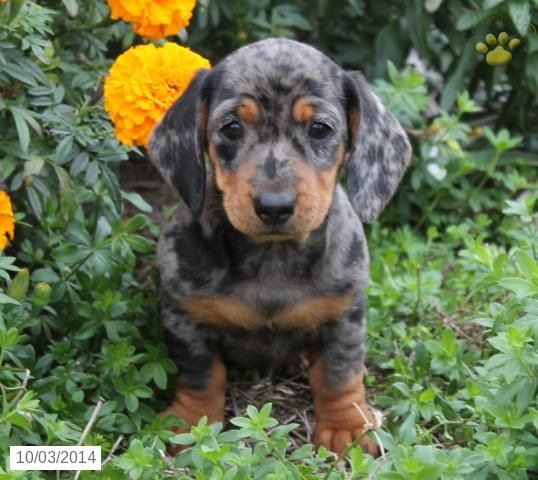Dachshund Puppy For Sale In Pennsylvania Dachshund Puppies For