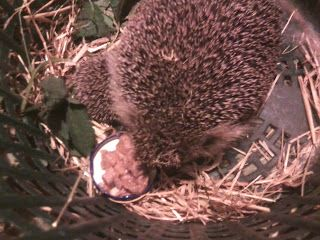 Hedgehog - Mother and Baby