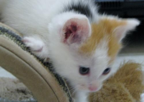 Petra Is An Adoptable Calico Domestic Medium Hair Cat In Polson Mt Petra Is A Cute Little Calico Kitten Mostly White With A Few Calico Cat Lady