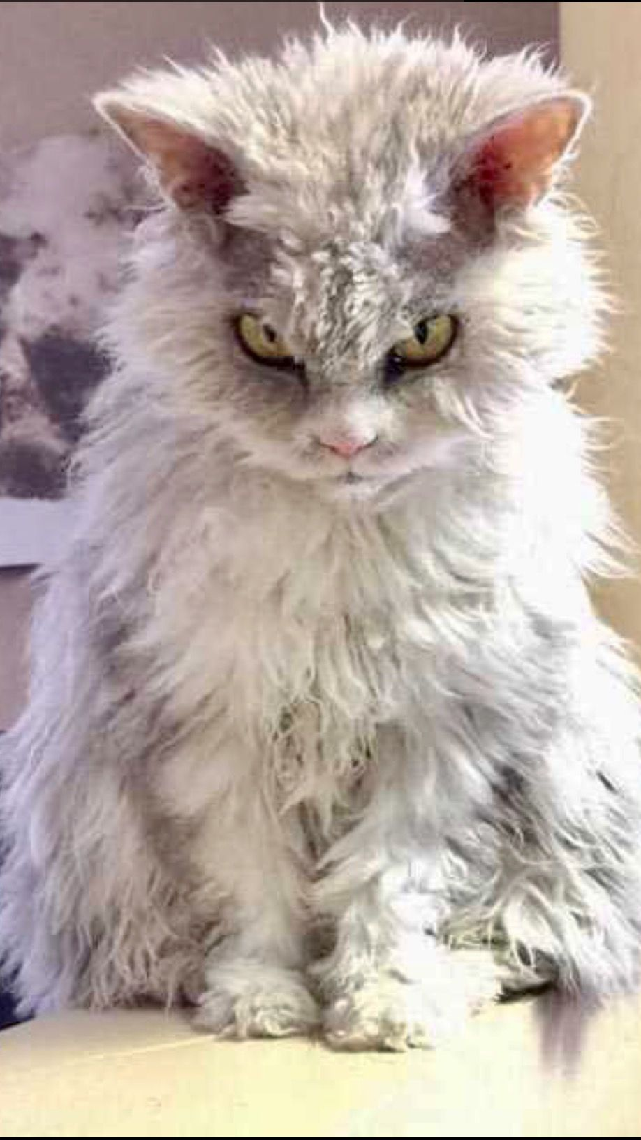 Pin By Shokolani On Angry Kitties With Images Animals Pets Cats