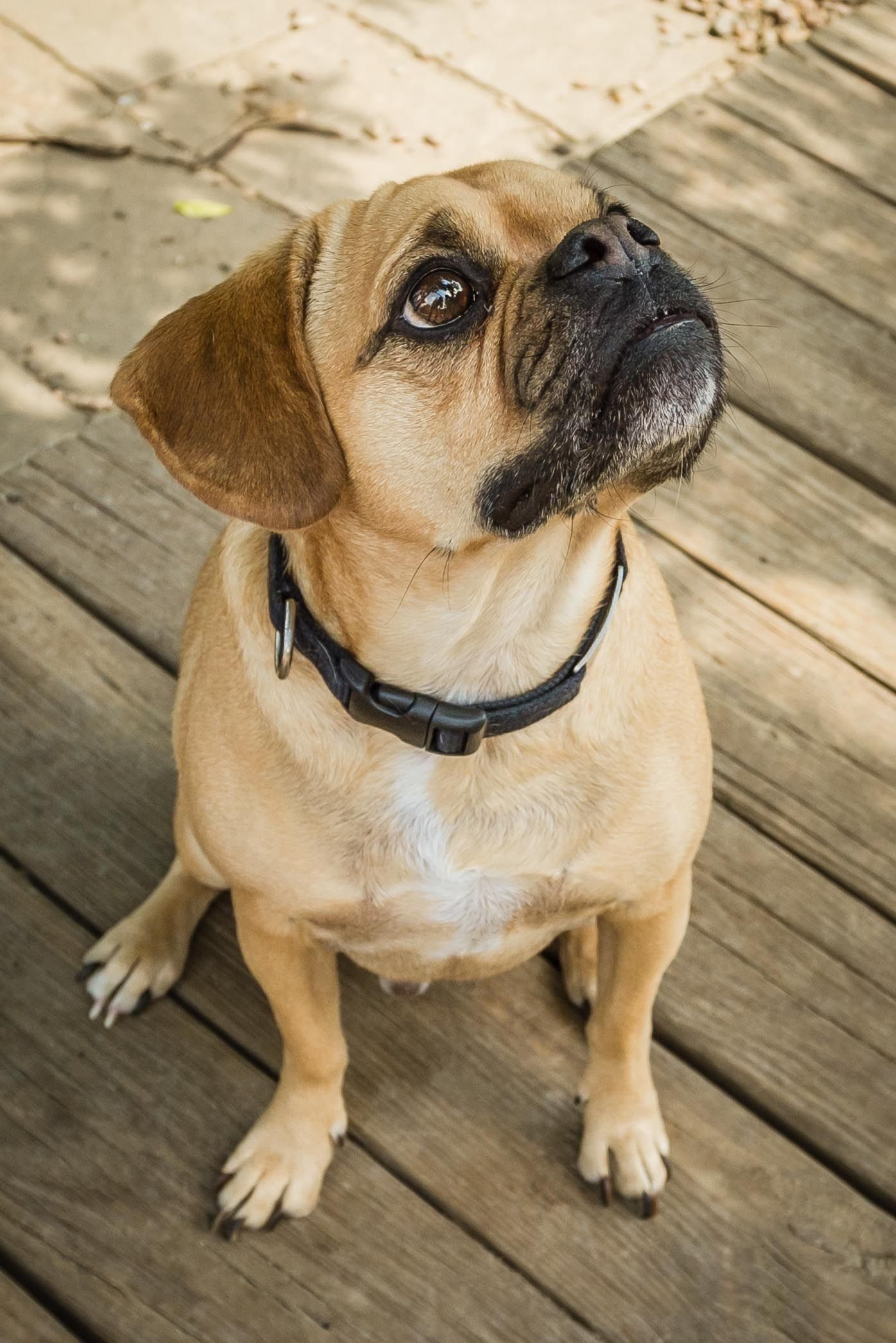 Dog Photography In Colorado Puggles Dogphotography Puggle
