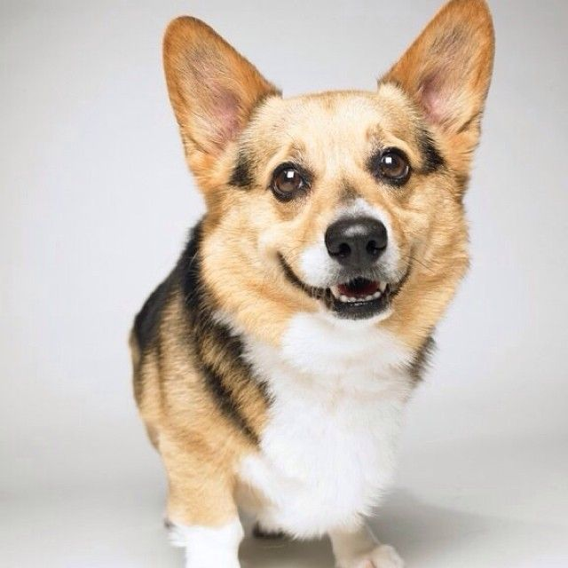 I Am Here To Brighten Up Your Monday Corgi Smile Corgi Corgi Dog