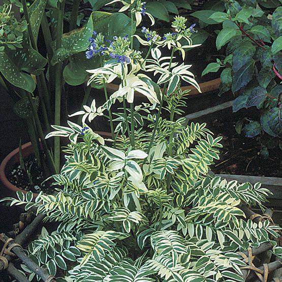 Variegated Jacob S Ladder Shade Perennials Variegated Plants