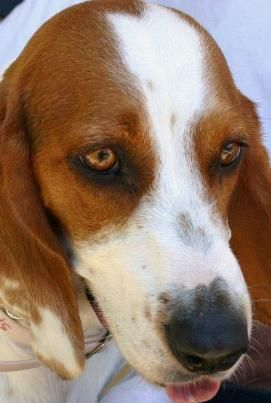 Beagle Hound Photo Beagle Basset Hound Mix Pictures Of The