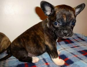 French Bulldog Boston Terrier Mix Soo Cute I Want Ittt Cute