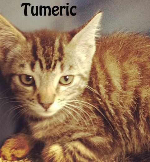 Tumeric is my name!! I am told I am quite the character! I don't know, maybe if I put on a show... someone will notice and adopt me and Chaparral! So here we are hanging out with the others, waiting for our turn. What do you think? Can you find room in your heart to adopt a couple of adorable brown tabbies? Come on down and visit us soon, okay  If you are interested in adopting these cats or any other one listed here please call 877-307-2747 or email adopt@whis-purr.org