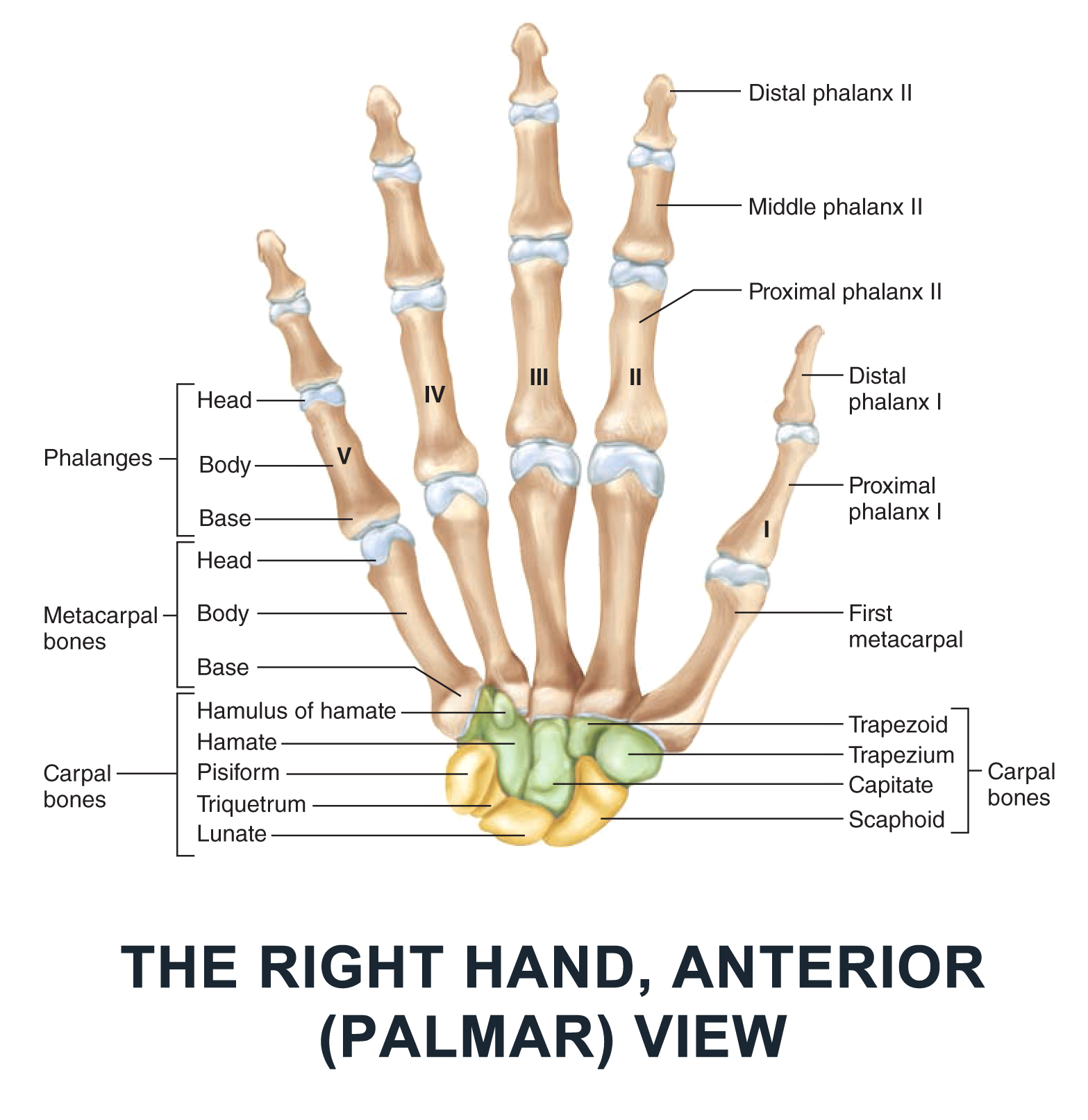 The Right Hand, Anterior (Palmar) View - #anatomy images ...