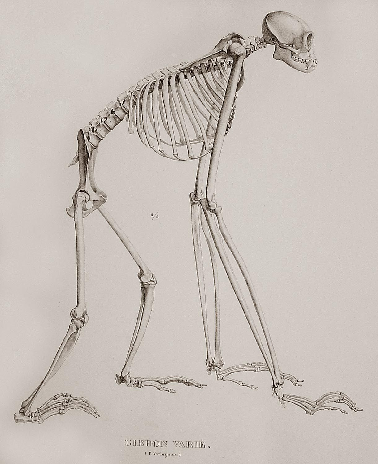 the skeleton of a gibbon  [ 1221 x 1500 Pixel ]