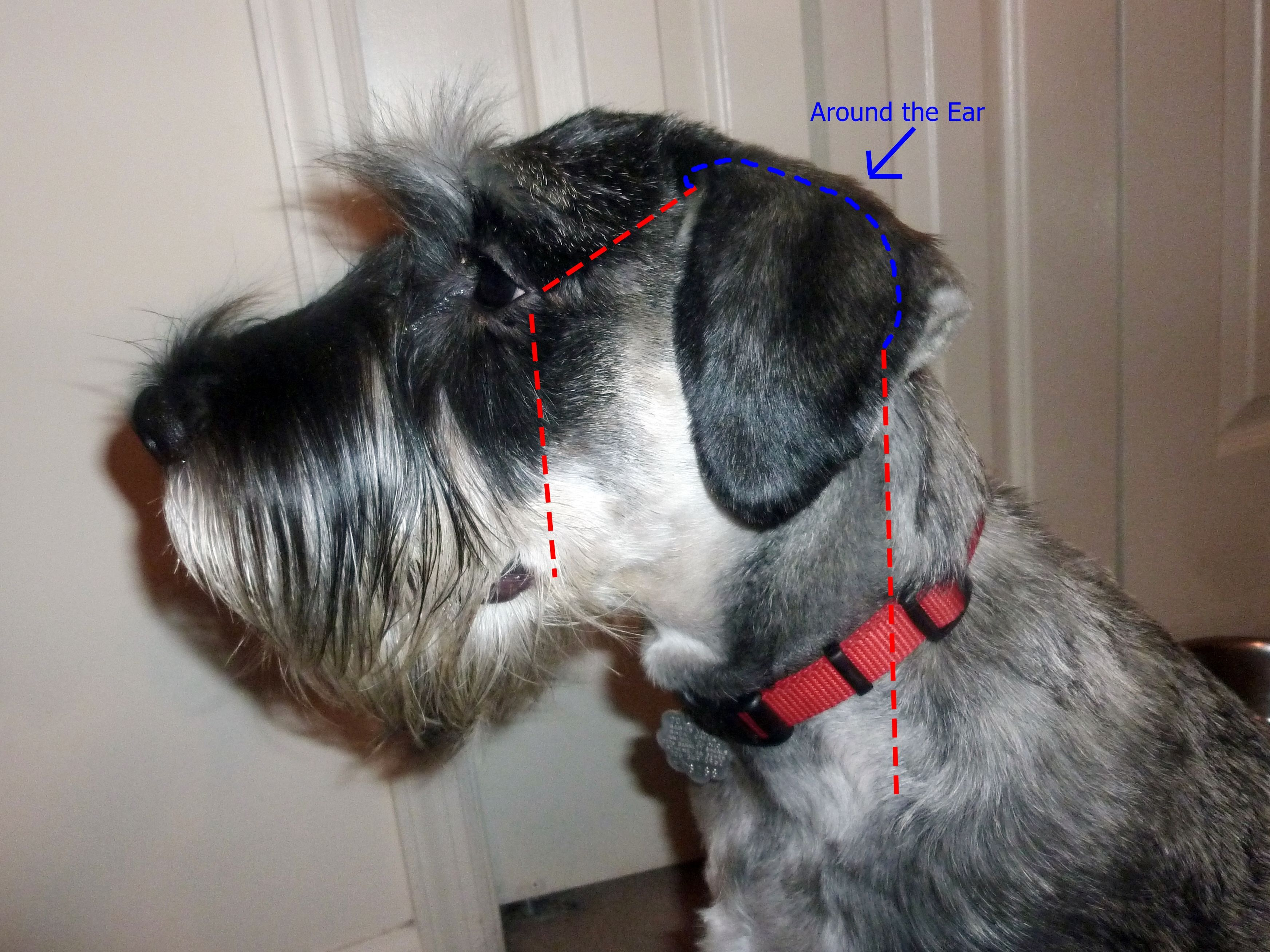 Standard schnauzer grooming -- lines for clipping the face