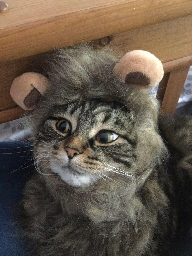 Lion Mane Cat Hat mykittycorner Lion mane, Cute cats