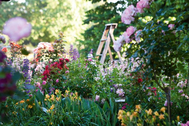 A ladder stands behind a bed of pink and yellow alstroemeria, penstemons, daylilies and 'Bold Seduction' (pink) roses. #garden #flowers