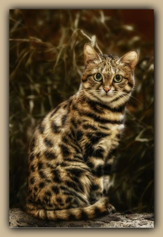 Asian Leopard Cat [Prionailurus bengalensis] is a small wildcat of Southeast Asia. Leopard cats are about the size of a domestic cat, but more slender with longer legs. It is widely distributed being in Amur area of Russia south to Indonesia & west to Pakistan.
