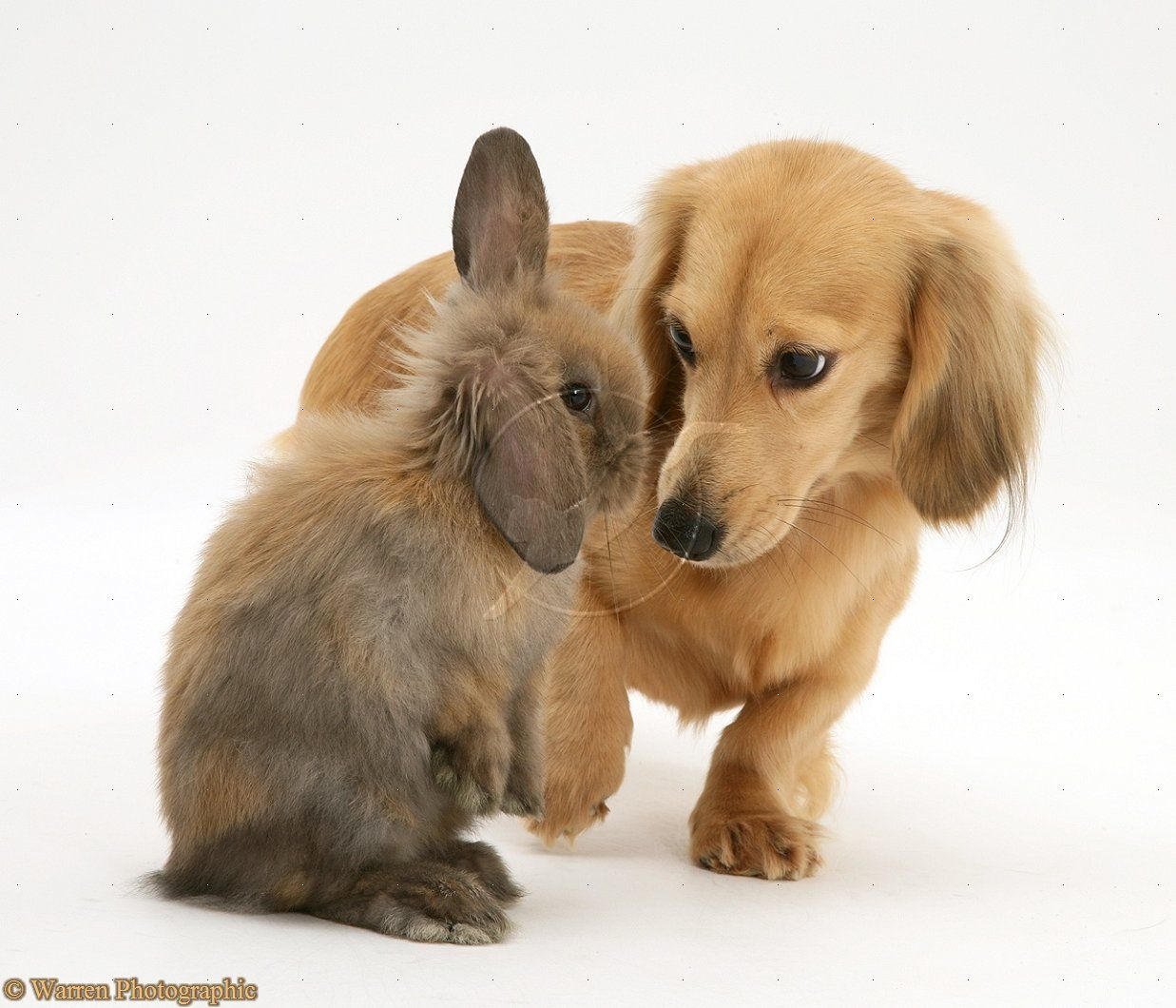 Lop Rabbit Meets Cream Dapple Dachshund Pup Photo Wp17843