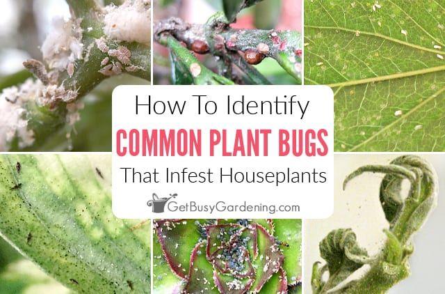 How To Identify Common Types Of Houseplant Bugs In 2020 Plant Bugs Aphids On Plants House Plants