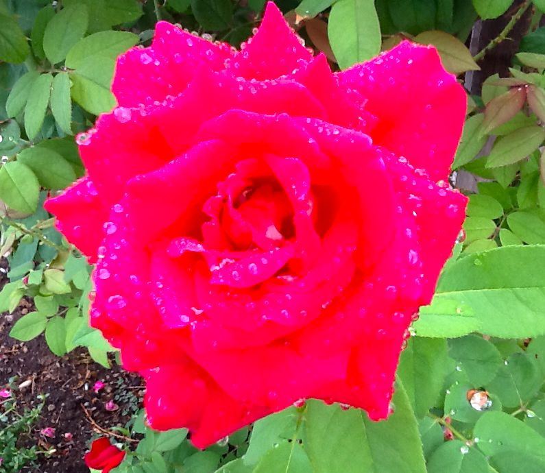 Mr. Lincoln red rose in the rain.