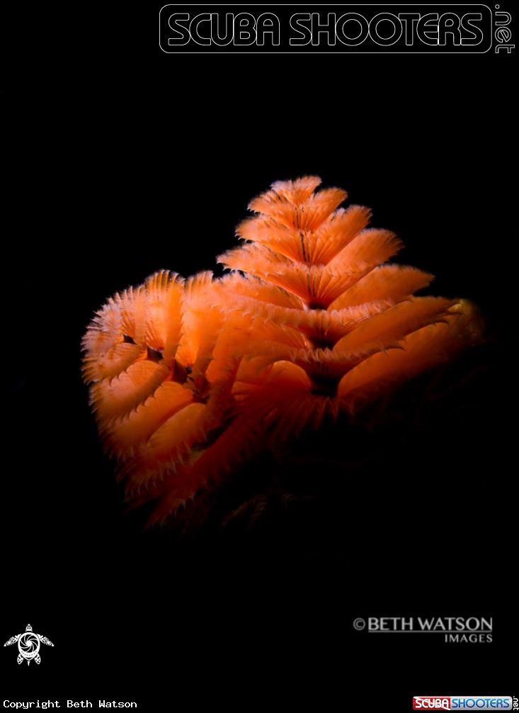 Underwater Photography Spotlight Christmas Tree Worm Underwater Photography Underwater World Ocean Life
