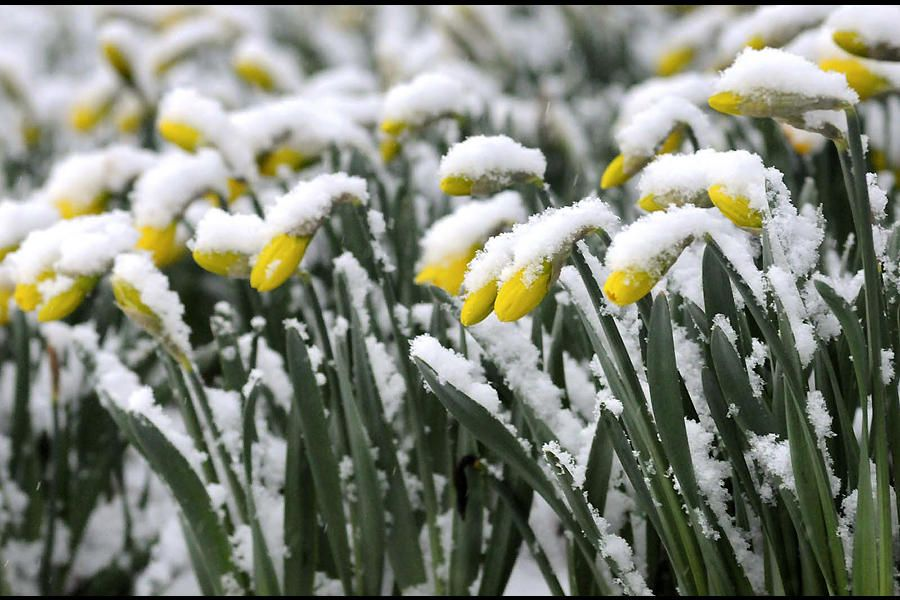 Daffodils are covered with wet spring snow in Lancaster, Pa., as a storm stretching from the Midwest to the East Coast is burying thoughts of springtime weather under a blanket of heavy wet snow and slush.