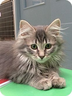 Pin by Trudy Hackney on Maine-ly Coons | Maine coon kittens, Cats