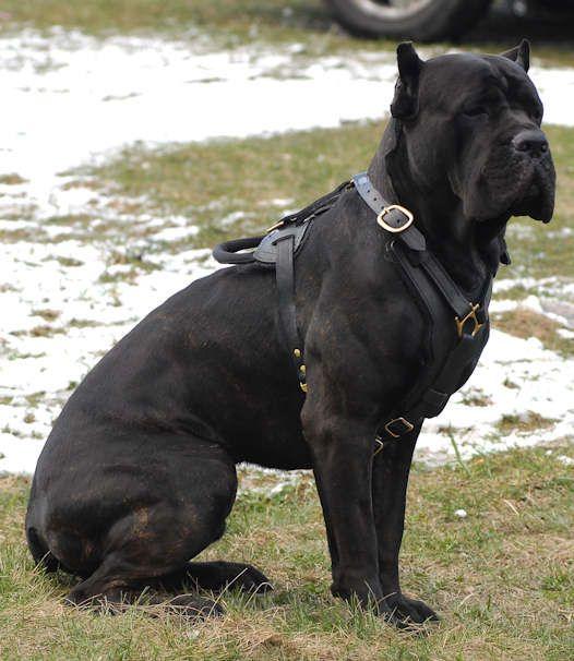 Strong Canecorso Corso Italianmastiff Animals Pets Puppies