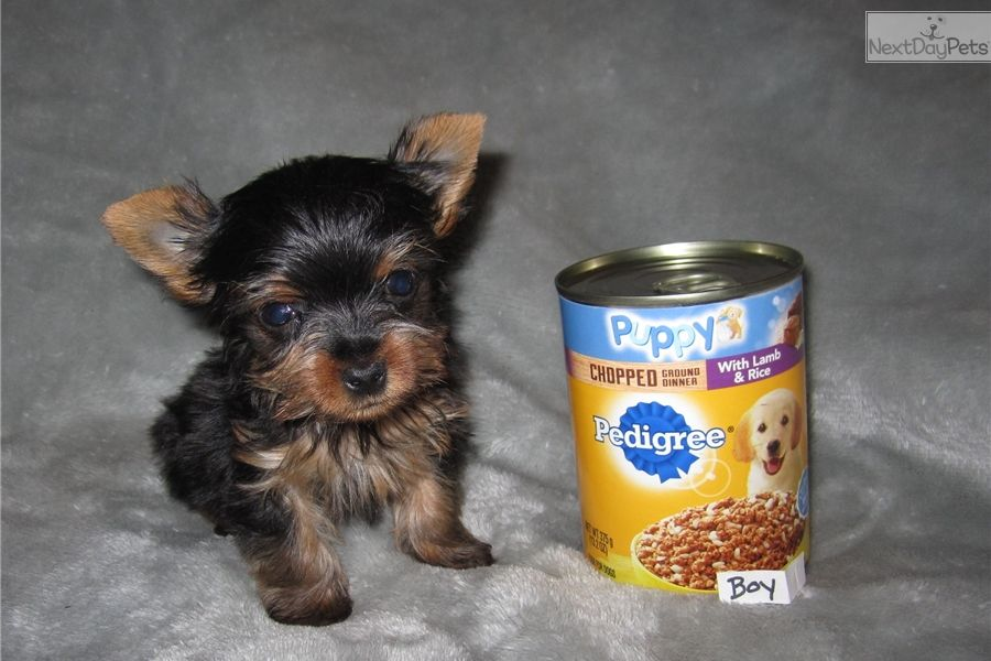 Yorkshire Terrier Yorkie puppy for sale near St Louis