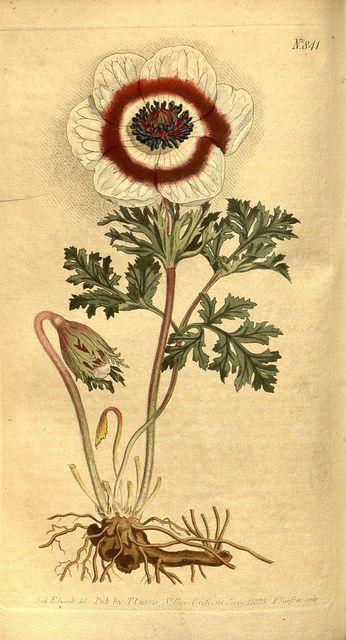 N137 w1150 magazines botanical illustration and for Botanical tattoo london