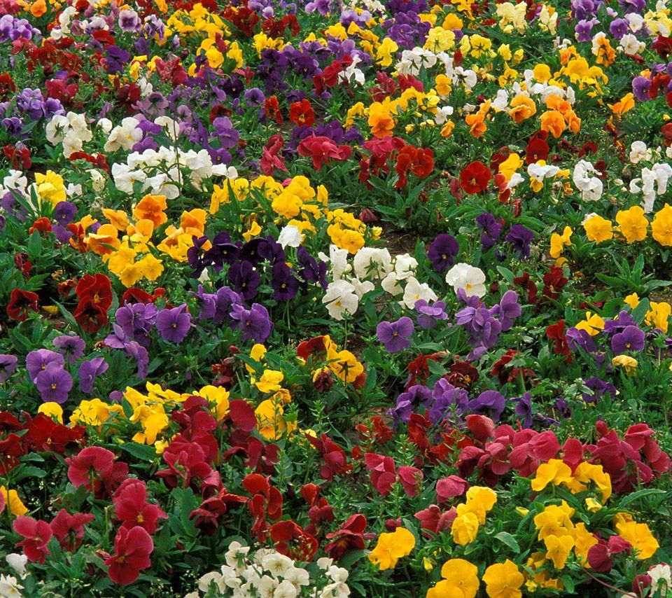 Flowers For Flower Lovers Beautiful Flowers Parrots Birds Beautiful Flowers Images Pansies Flowers Beautiful Flowers
