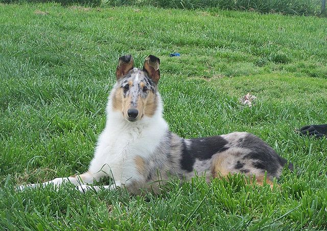 Smooth Collie - blue merle