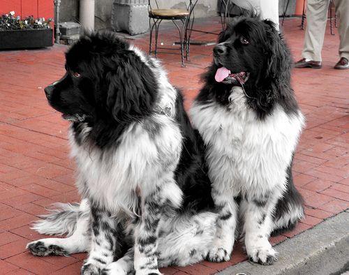 Newfoundland Breed Dog Breeds Dogs Newfoundland Dog