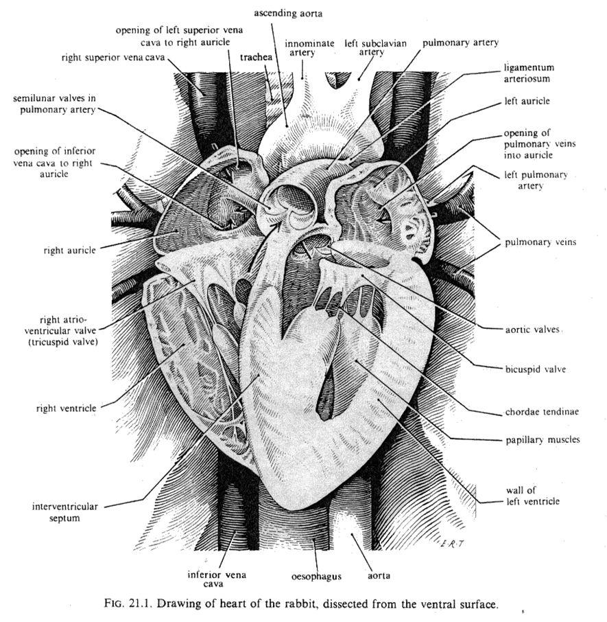 Anatomy Of The Rabbit Heart Anatomie Prenten Pinterest Anatomy