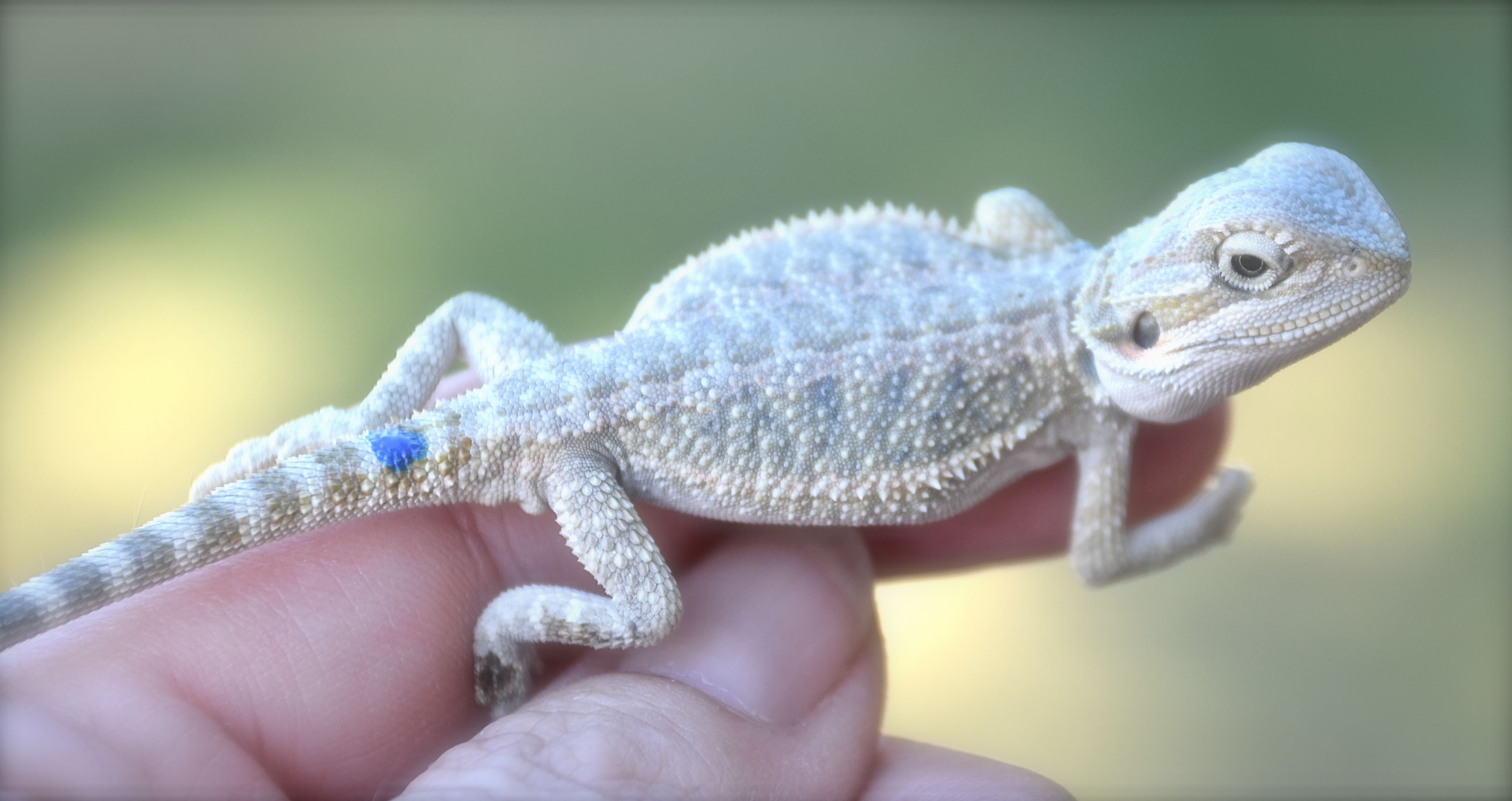 Polar hypo baby bearded dragon | Jossranch Bearded Dragons ...