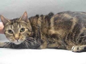 Oscar A1099051 Cat Adoption Pets Cat Shelter