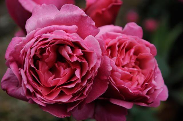 rosa line renaud meilland serenity garden pinterest. Black Bedroom Furniture Sets. Home Design Ideas