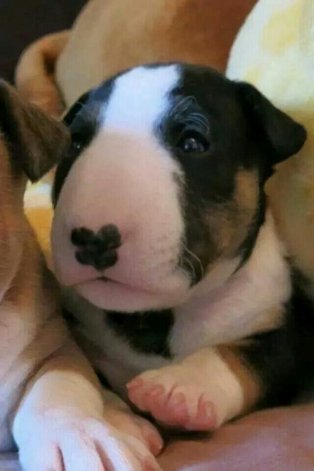 Adorable Bully This Just Might Be Our Dog Breed Not Too Small Short Hair Stocky And Small Enough To Be Happy In O Bull Terrier Baby Dogs Bull Terrier Puppy