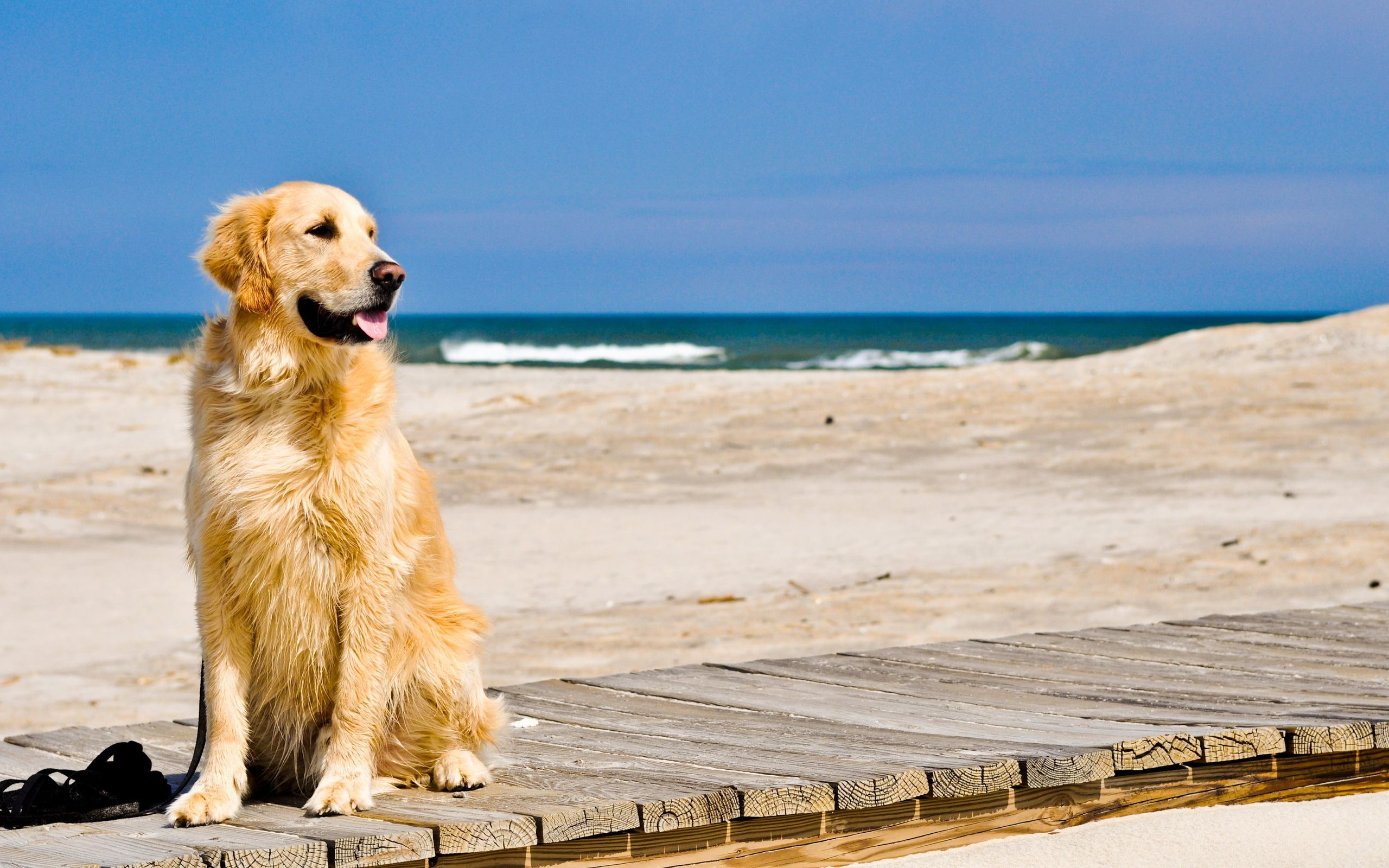Beautiful Dogs In Beach Computer Wallpaper 1456 Wallpaper Golden Retriever Wallpaper Dogs Golden Retriever Golden Retriever
