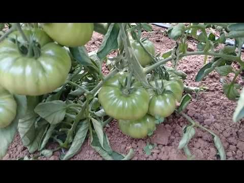 Hıyarda Koltuk ve Meyve Seyreltme - YouTube