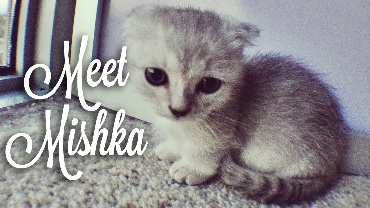 Picking Up Mishka Cute Scottishfold Munchkin Kitten Https Www Youtube Com Watch V Tm8wjjxksza Munchkin Kitten Crazy Cats Munchkin