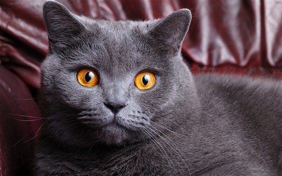 Gato Cinza Olho Amarelo Pesquisa Google Gatos Gatinhos Olhos Amarelos