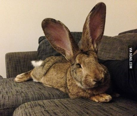 My giant giant bunny just hanging out on the couch...