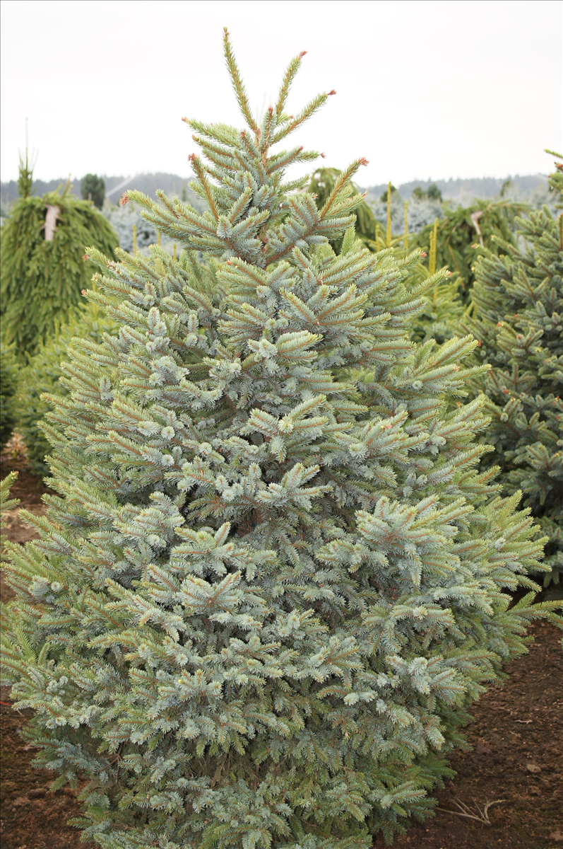 Picea bicolor howells dwarf a flat topped shrub when young but the foliage is a combination of greyish green with silvery blue on the reviewsmspy