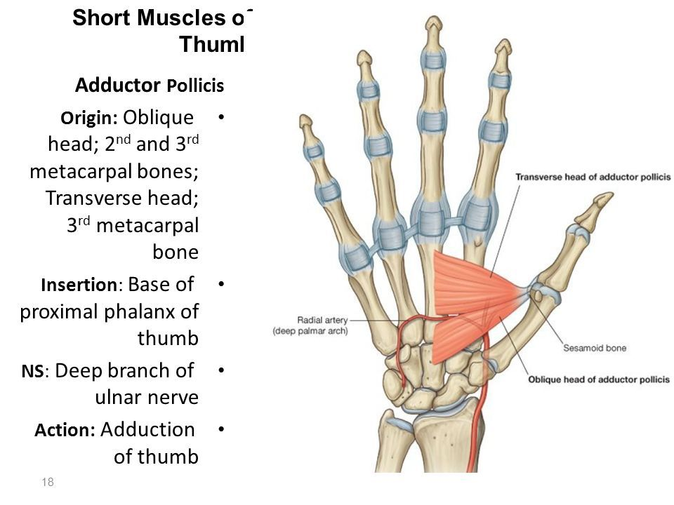 Image Result For Thumb Adductor Muscle Usmle Pinterest Radial