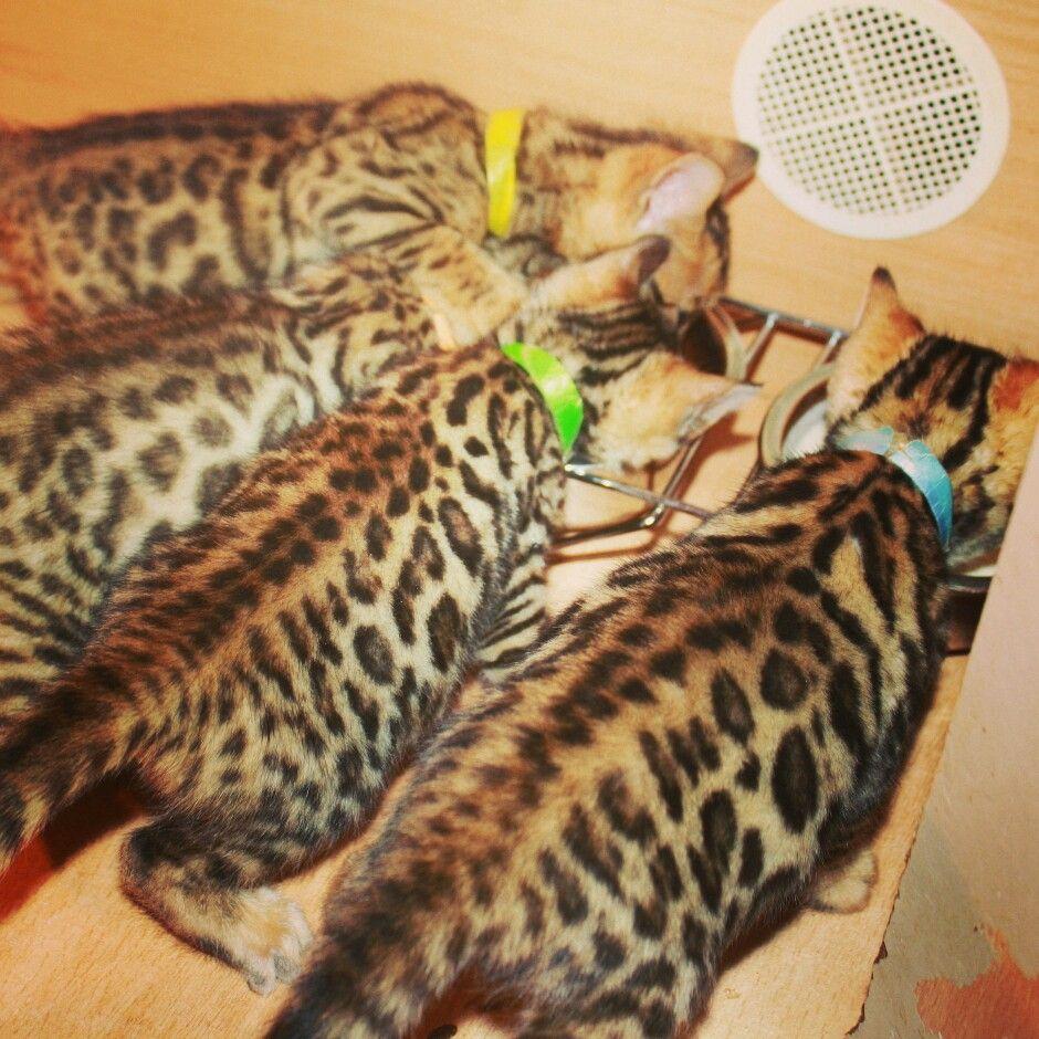 Www.bengaldiamondz.com # bengal kitten bengal cat bengaal kitten ...