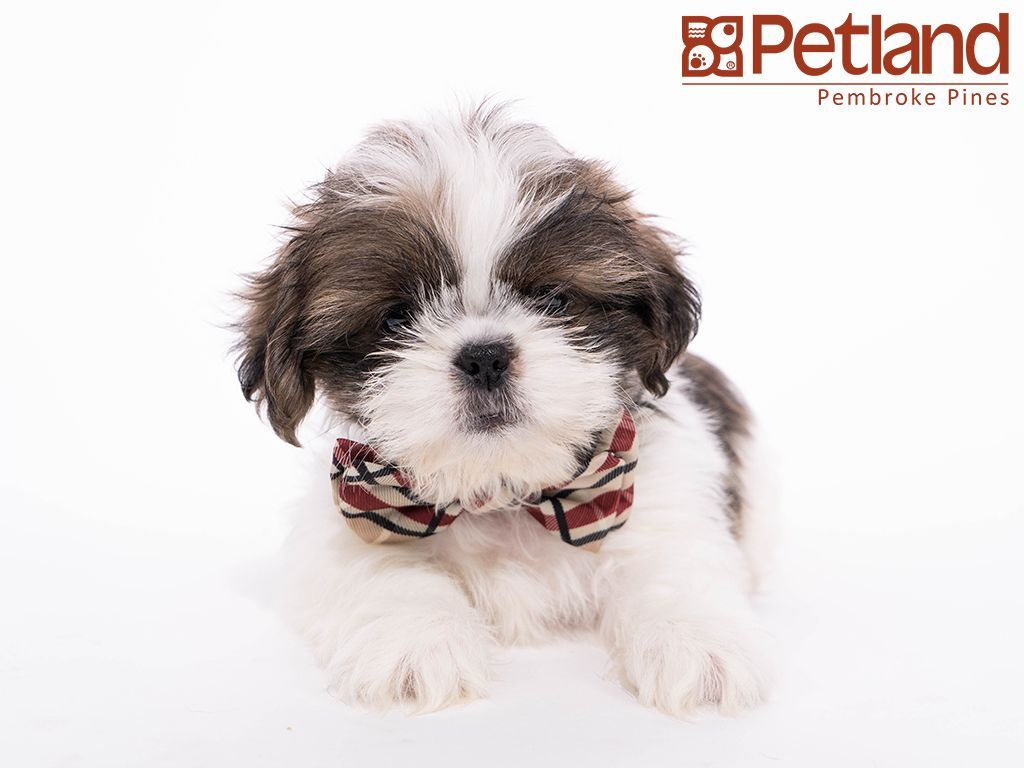 Petland Florida Has Shih Tzu Puppies For Sale Check Out All Our Available Puppies Shihtzu Petlandpembrokepines Petl Shih Tzu Puppy Puppy Friends Shih Tzu