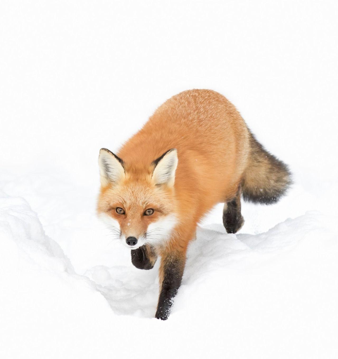 картинка лисы прорабы сладости зефира облаков