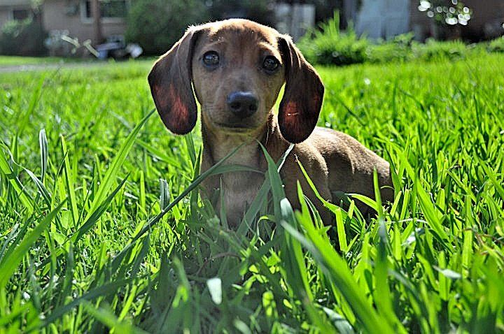 Miniature Dachshund Puppy (Beyond Skin Photography)