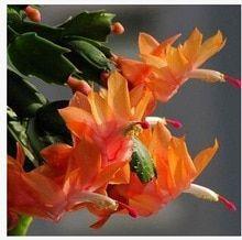 20pcs Beautiful Zygocactus Truncatus Bonsai Schlumbergera Plants Easy To Grow Indoor Potted - Best Seeds Online   Free Shipping Worldwide   BestSeedsOnline.com #bonsaiplants